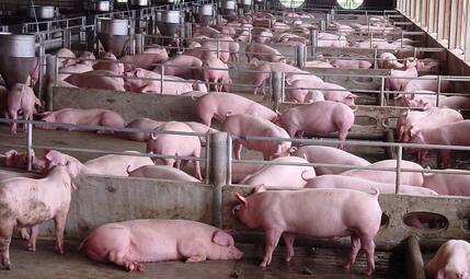 猪夜间磨牙原因与防治