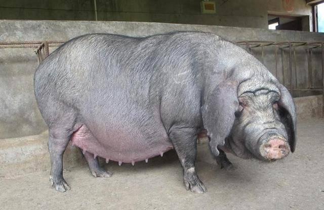 农人自配猪饲料,三个月催出十多头两百多斤的大胖猪