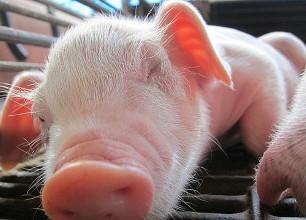 猪体温下降是何原因?