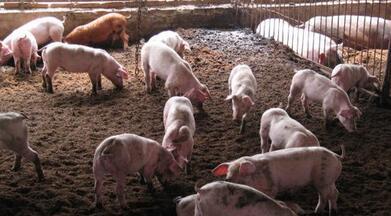 猪人工授精实验室工作程序