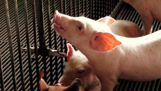 猪发烧了?养殖户应该怎么办?
