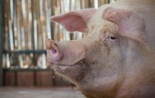 产后瘫痪母猪,如何预防?