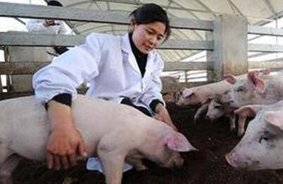 夏季温度高,种猪不孕了怎么办?