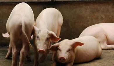 中小型猪场存在的技术缺陷