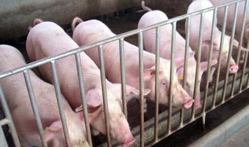 """男子零首付""""买""""走28头生猪被拘 称出狱后会还猪款"""