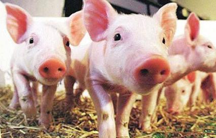 温度对猪肥育的影响分析