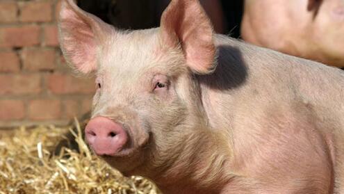 种公猪良好的饲养管理