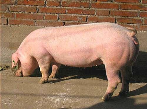 知道这几招再也不怕猪胀气!
