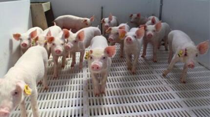 猪场驱虫及驱虫后期防疫措施