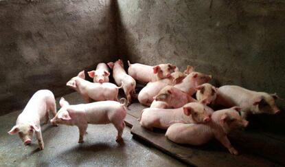猪场常用的消毒方式