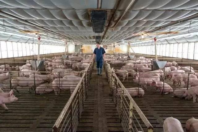双汇旗下生产商Smithfield计划在猪身上培育人体器官
