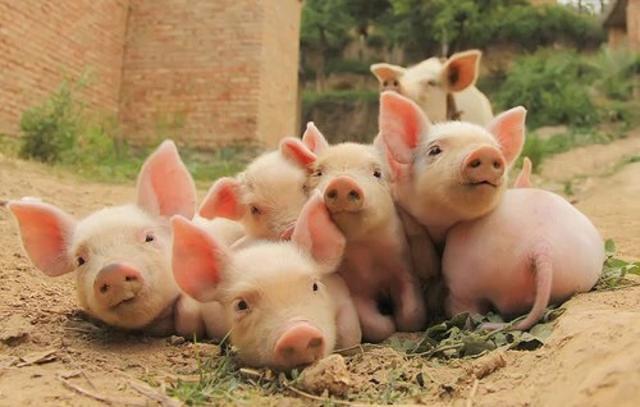 养猪合理用药很重要