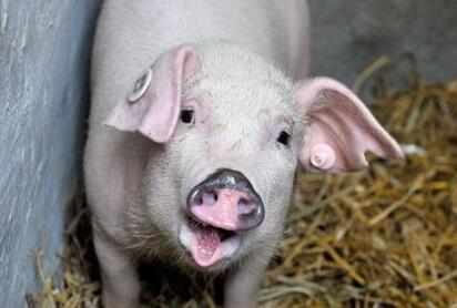 猪场常用药的使用与常见病的治疗方案?