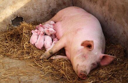 影响母猪泌乳力的因素及解决措施