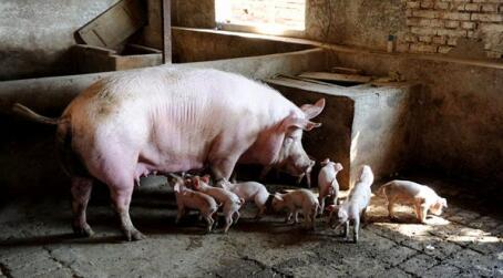 母猪产仔过程中生殖激素的巧用,赶快收藏!