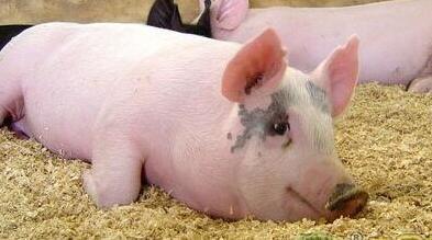 规模化养殖是趋势 分析养猪场与环保之间矛盾加剧原因