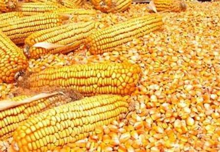 部分贸易商出货避险 高度关注玉米拍卖政策