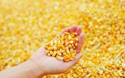 暴风雨前的宁静 玉米市场静待消息落地……