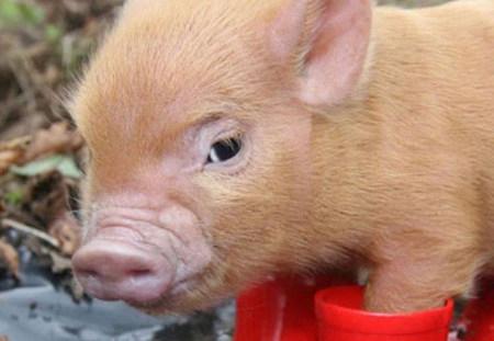 2017年4月26日(20至30公斤)仔猪价格行情走势