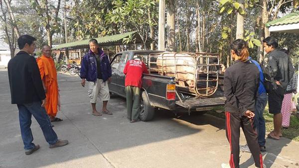 泰国一只猪逃离屠宰场获好心人赎身
