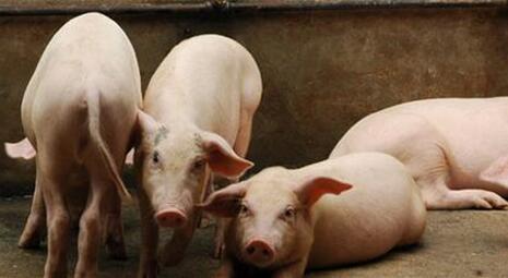 畜禽弯曲菌病的症状与预防