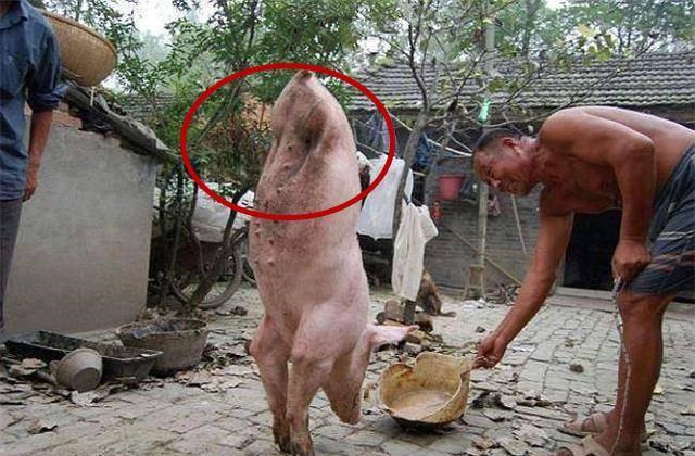 贫苦大爷无依无靠,身边养的猪却给他带来巨大财富