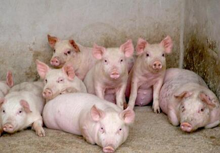 超级猪诞生:好的肉质也能精确地遗传