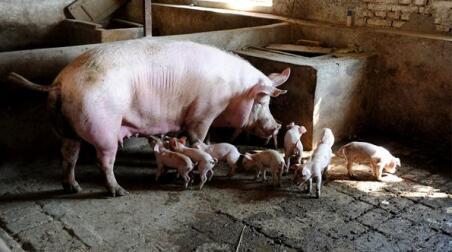 一周综述:猪价将重回7.5元以上,盈利幅度将增长