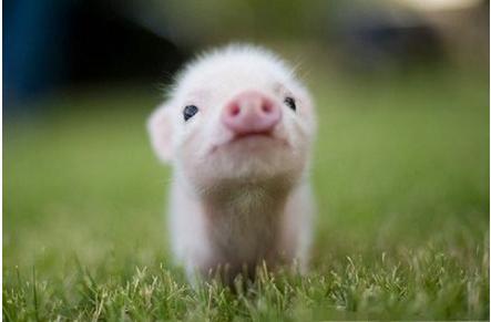 简单几招教你防治猪咳喘!!
