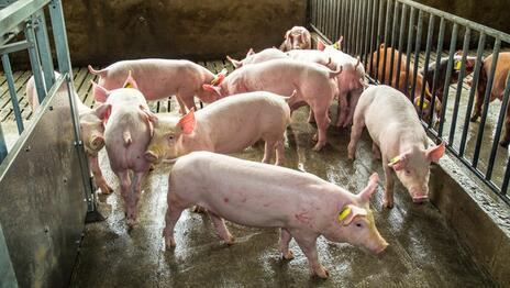 猪体温升高都是这几个疾病的发病症状