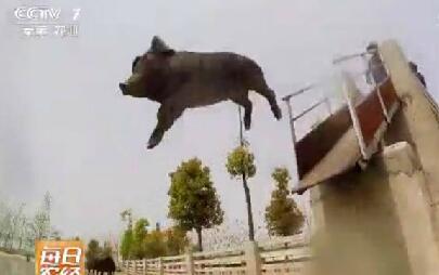 农民养猪猪每天跑5公里?萨摩赶猪、让猪跳水,猪的价格飞涨!