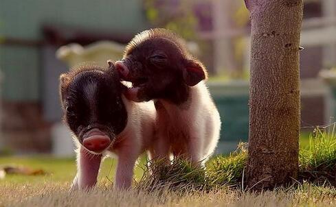 猪寄生虫病,应以防为主,防治结合!