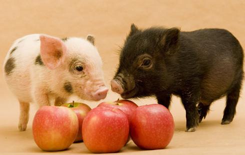 猪场低碳生态养猪,节约成本猪肉质量高