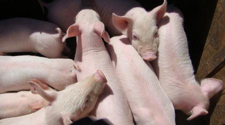 养猪场中母猪临产时的注意事项