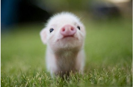 """养猪必经历四个""""星期"""",正确处理可有效提高效益"""