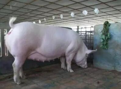 母猪胎儿性难产怎么办?