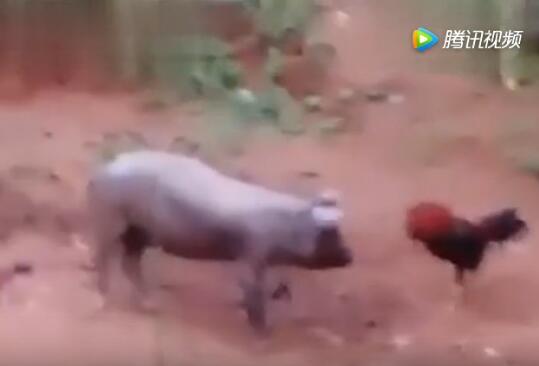 大公鸡和老母猪打架,大部分人都没见过……