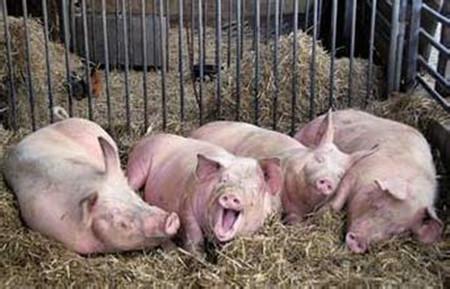 提前提高猪舍温度有助于减少母猪额外能量消耗
