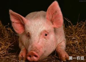 养猪场品种选择以及母猪个体的选择