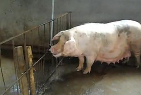 最全提高母猪发情配种资料