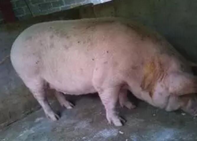 养猪场母猪的生产指标是什么?怎么饲养母猪才是合格的?