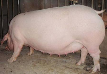 想让仔猪成活率达到100% 只有做最细致的产后管理