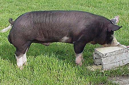日本人给猪吃了这个,猪价翻6倍还供不应求