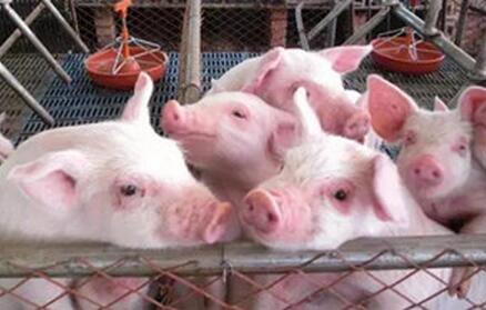 机关算尽猪价继续下跌 谁为猪价买单?