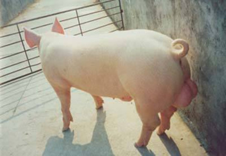 一头公猪到底与多少头母猪搭配合适?