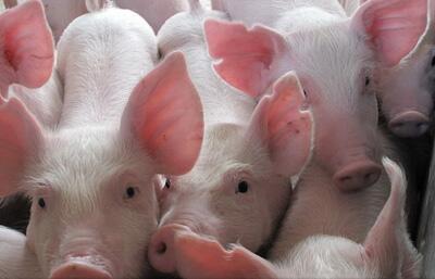 夏季猪咳嗽、喘气、急性死亡,看有经验的兽医教你这么做!