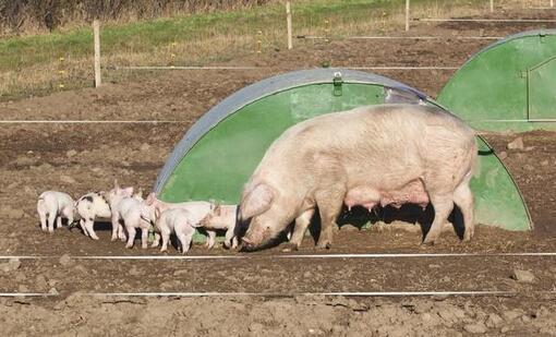 """母猪饲养管理要点,让猪场""""生产机器""""更挣钱"""