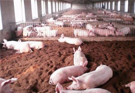 是否觉得打扫猪场清理猪粪太辛苦,试试懒汉养猪法偷懒也没事