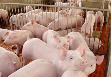 猪支气管肺炎病诊治!
