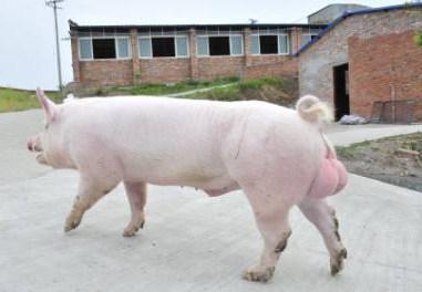 美国国家种猪登记协会-2017年5月美系种猪在中国推广